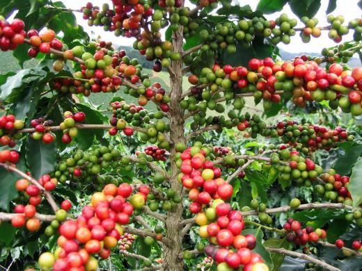 arabica-coffee
