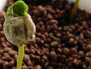 trồng cà phê ở nhà